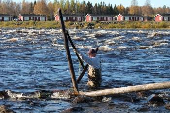 Krenkut puretaan pois syksyllä. Kuva Jarno Niskala.