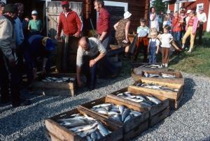 Siianjako 1984. Kuva Suomen kalakirjasto.